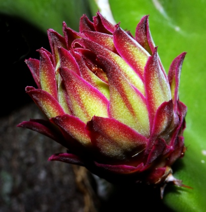 Dragonfruit Flower